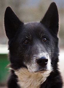 retired husky sled dogs for adoption in Canmore, Alberta