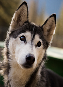 Retired husky sled dog for adoption in Canmore, Alberta