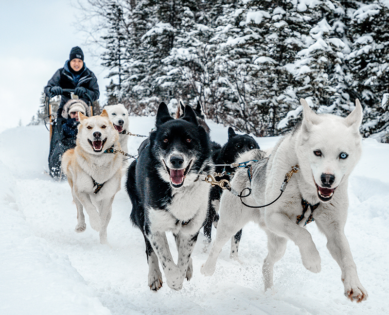 Snowy Owl Sled Dog Tours Canmore Alberta