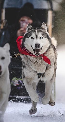 Snowy Owl Dog Sled Tours Canmore - Photo by Caleb Huizinga