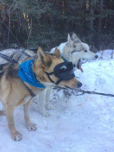 Snowy Owl Dog Sled Husky Hero Bear Doggles
