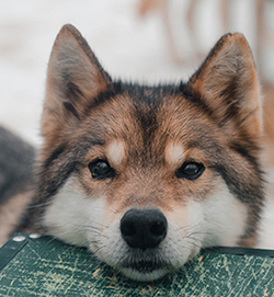 Splinter - adoptable - Canadian Indian Husky - Snowy Owl Sled Dog Tours, Canmore, Alberta