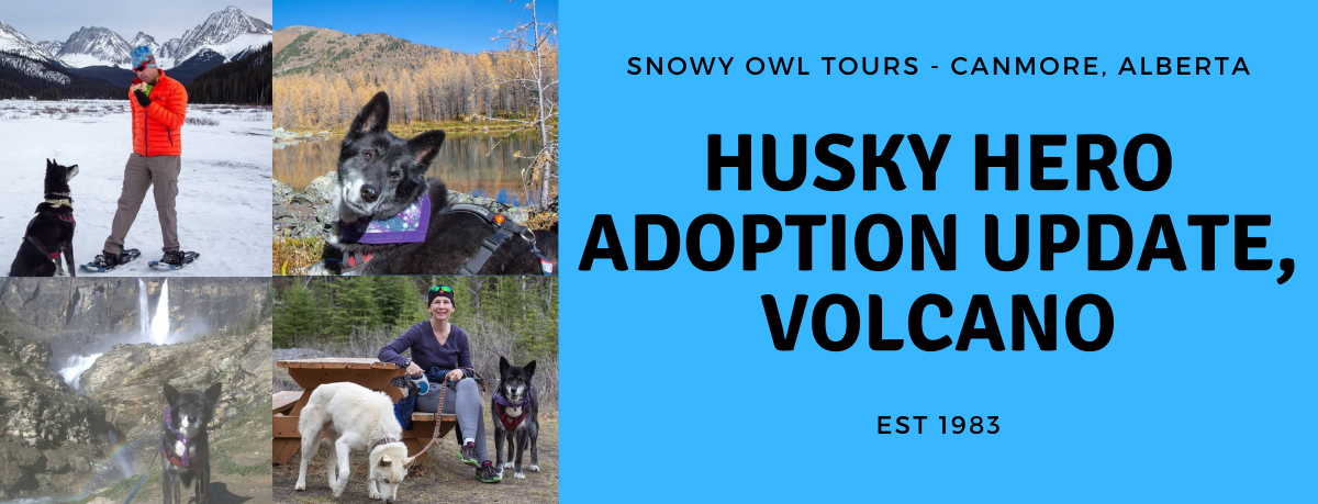 Snowy Owl Tours - Adoption Update - Volcano - cover