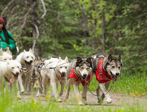 No Snow, No Problem – Sled Dogs Meet the Dog Days of Summer