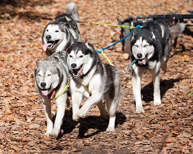 Summer Dog Carting - Snowy Owl Sled Dog Tours, Canmore, Alberta